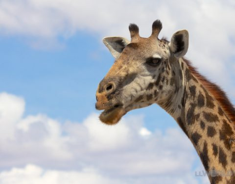 Tarangire Park Giraffe